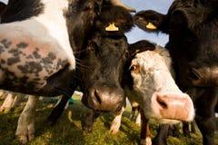 La mucca di Guernsey Fotografie Stock