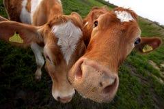 La mucca di Guernsey Fotografia Stock Libera da Diritti