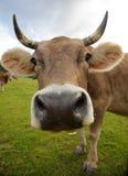 La mucca divertente Immagine Stock