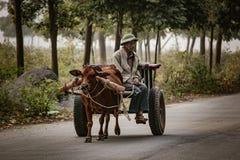 La mucca domestica sta tirando un carretto per trasporto in Tam Coc, Vi immagini stock