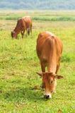 La mucca due mangia l'erba Immagine Stock Libera da Diritti