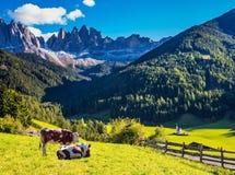 La mucca due sui prati alpini verdi Fotografia Stock