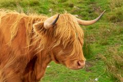 La mucca famosa Scozia di Highlnd fotografie stock libere da diritti