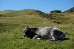 La mucca gode di di trovarsi al sole su alp de siusi nel Tirolo del sud Fotografia Stock Libera da Diritti