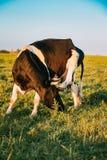 La mucca graffia la sua testa con uno zoccolo nel pascolo di primavera Mucca che pasce Fotografie Stock Libere da Diritti