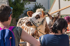 La mucca guarda a sinistra in una mostra della città Fotografie Stock Libere da Diritti