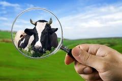 la mucca ha trovato Fotografia Stock Libera da Diritti