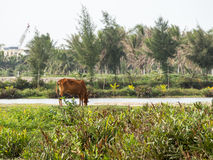 La mucca, il bufalo d'acqua e un agricoltore ad un riso sistemano nel Vietnam Fotografia Stock
