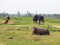 La mucca, il bufalo d'acqua e un agricoltore ad un riso sistemano nel Vietnam Fotografie Stock