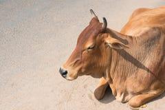 La menzogne indiana della mucca Fotografia Stock