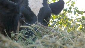 La mucca mangia il fieno archivi video
