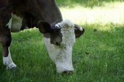 La mucca mangia l'erba Immagini Stock