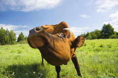 la mucca mangia l'erba Immagine Stock Libera da Diritti
