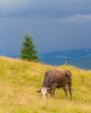 La mucca mangia l'erba Immagini Stock Libere da Diritti