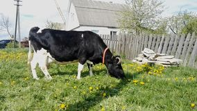 La mucca mangia l'erba video d archivio