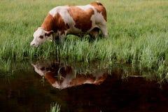 La mucca mangia la riflessione Fotografie Stock Libere da Diritti