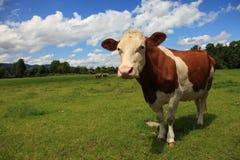 La mucca marrone Fotografia Stock
