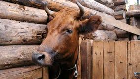 La mucca marrone domestica del purosangue con i corni sta in una stalla su un primo piano dell'azienda agricola archivi video