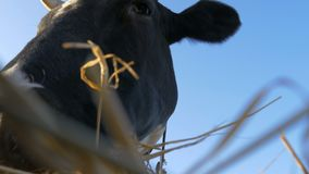 La mucca mastica il fieno stock footage