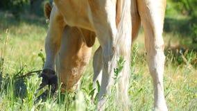 La mucca mastica l'erba verde sul prato Mucca dell'azienda lattiera video d archivio