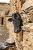 La mucca nera guarda fuori dal vecchio granaio nel villaggio dell'Himalaya Fotografia Stock Libera da Diritti