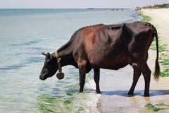 La mucca nera rossa dell'azienda agricola domestica assetata cammina sull'acqua potabile della spiaggia del mare fotografia stock