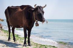 La mucca nera rossa dell'azienda agricola domestica assetata cammina sulla linea costiera della spiaggia del mare fra la gente ed immagini stock