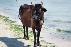 La mucca nera rossa dell'azienda agricola domestica sta sulla linea costiera costiera della spiaggia del mare fotografia stock