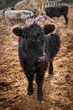La mucca nera sta nel lotto dell'alimentazione Immagine Stock