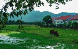La mucca pasce il lago fotografie stock