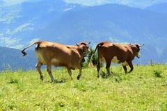 La mucca pazzesca sta saltando nella montagna Fotografia Stock