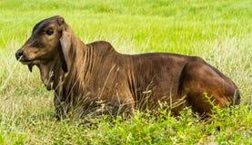 La mucca prende un resto Fotografia Stock