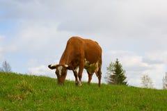 La mucca rossa Immagini Stock Libere da Diritti