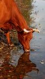 La mucca rossa beve l'acqua da un fiume Immagini Stock Libere da Diritti