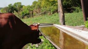La mucca rossa beve l'acqua da una depressione in una penna dell'estate per il bestiame archivi video