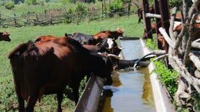 La mucca rossa beve l'acqua da una depressione in una penna dell'estate per il bestiame stock footage