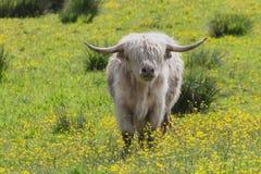 La mucca scozzese bianca con un cappotto sopra il suo osserva Fotografia Stock