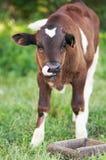 La mucca sta levandosi in piedi nell'erba Immagini Stock Libere da Diritti