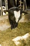 La mucca sta mangiando. Fotografie Stock Libere da Diritti