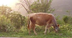 La mucca sta pascendo in un prato stock footage