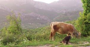 La mucca sta pascendo in un prato video d archivio