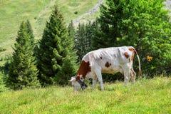 La mucca sta passando in rassegna sul prato alpino Fotografia Stock Libera da Diritti