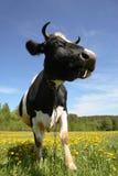 La mucca su un prato inglese Immagini Stock