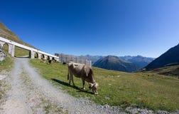La mucca su Weissfluhjoch nel ¼ di Tavate Graubà nden la Svizzera di estate Immagini Stock Libere da Diritti