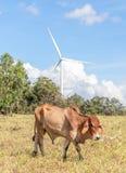 La mucca in terreno coltivabile con il fondo del mulino a vento su una d soleggiata luminosa Immagine Stock