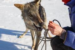 La muchacha alimenta desde las manos del lobo gris salvaje cuando él hace muecas foto de archivo libre de regalías