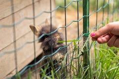 La muchacha alimenta pequeños conejos lindos imagen de archivo