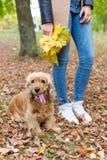 La muchacha bonita en vaqueros y la capa con las hojas coloreadas brillantes que caminan en otoño parquean con un pequeño perro r Fotos de archivo libres de regalías