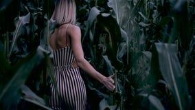 La muchacha camina a través de un campo de maíz almacen de video