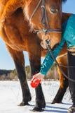 La muchacha cepilla la pierna del caballo del pelo y del polvo imagen de archivo